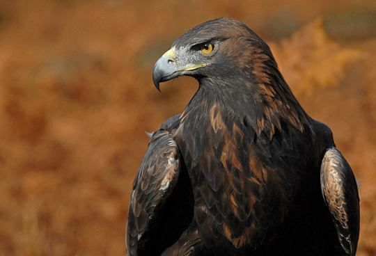 Golden Eagle عقاب طلایی 222