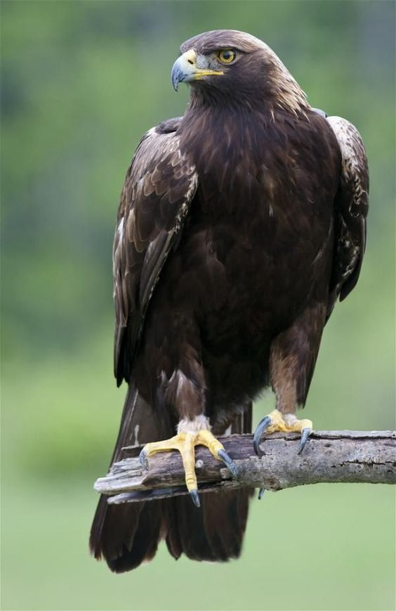 Golden Eagle  Waiting - انتظار عقاب طلایی
