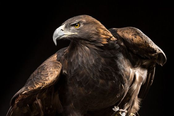 Mighty Golden Eagle عقاب طلایی